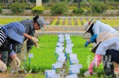 """中国首批""""海水稻""""品种明年诞生,2020年大范围种植"""